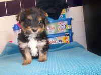 beutiful yorkie x shih tzu puppie girl 8 weeks old