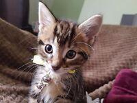 Tabby/ginger/grey and white kittens