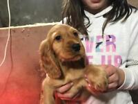 Pedigree KC Registered Cocker Spaniel Pups For Sale