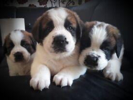 St Bernard puppies only 3 puppies left!!!