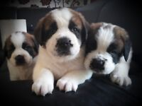 St Bernard puppies only 3 puppies left!!!