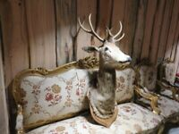Taxidermy Stags's Head (Professionally Mounted)