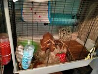 4 male rats & accessories