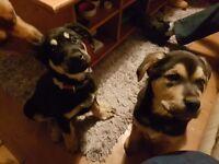 12 week old rottie/ akia/ alsation cross puppies