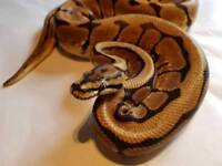 Adult male phantom spider royal python / snake