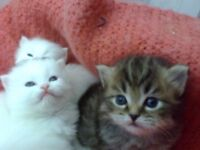 Siberian Persian Kittens