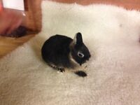 Gorgeous Netherland dwarf baby rabbits for sale
