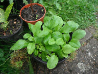 Plant for sale-several Forget-me-not plants