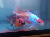 4 LARGE KOI FISH