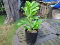 10 POT GROWN LAUREL HEDGING PLANTS.