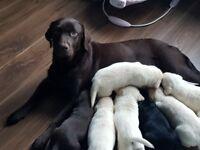 beautiful labrador pups