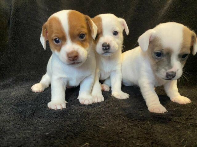 Adorable Jack Russell Puppies For Sale In West Drayton London Gumtree