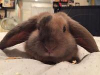 Lop ear/Lion head rabbit for sale