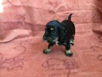 Cocker spaniel girl puppy's for sale
