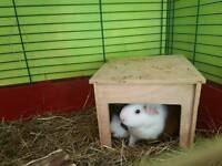 2 male guinea pigs with full set up and accessories