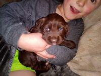 1 chocolate sprocker spaniel puppy for sale