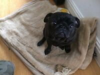 Pug for sale (adult female)