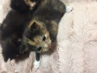 6 gorgeous kittens for sale