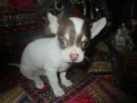 top quality beautifully marked choc/white parti coloured boy chihuahua