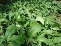 COMFREY - 5 PLANTS SUPPLIED IN 9 CM POTS FOR £8.95 INCLUDING POSTAGE
