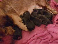 Daschador Puppies