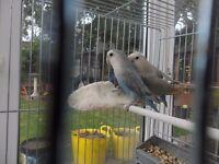 Love Birds - pair