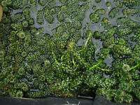 POND WEED AND POND PLANTS FOR SALE FROM 50p
