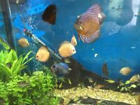 Discus tropical fish for sale