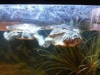 2 turtles with everything plus 55 gallon tank