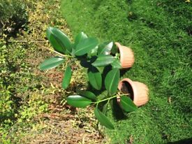 Two very healthy young rubber plants. Ideal for home/office
