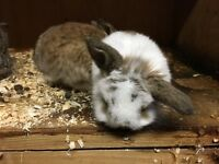 Beautiful cinnamon and agouti mini lops for sale