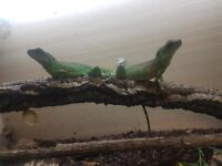 two water dargons for sale with all set up