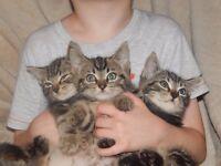 Half maine coon half sliver tabby kittens look like whiskas kittens £150 only 3 boys left.