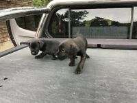 2 smooth coat paterdale boy pups left