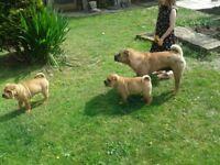 Shar pei kc reg puppies