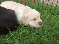 2 Golden Miniature Labradoodle Puppies for Sale