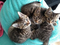 last one mischievous 10 weeks old kittens ready for new forever loving home home