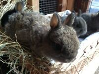 Netherland dwarf baby rabbit.