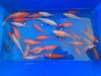 Goldfish mix for sale