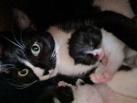 Shorthair Kittens for sale - 5 weeks old.