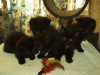 Black Siberian kittens