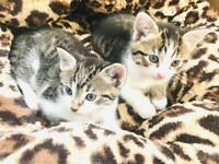 Tabby kittens for sale 8weeks old