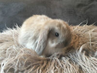 Beautiful Fluffy Mini Lop Baby For Sale