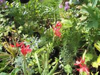 Large Pots of The Hardy Garden Plant, Kaffa lily (red flowers)