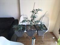3X Eucalyptus Gunnii Shrub/house plant - (24cm pots - 3 house plants) fragrant