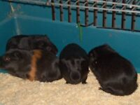 Male guinea pigs 5 months old