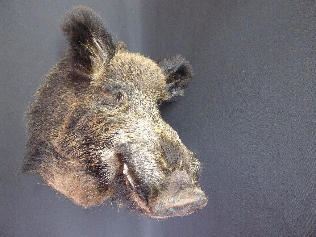 Taxidermy Wild Boar head. Nose to wall 46cm. Top to bottom 57cm. Wall hanging.