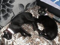 BLACK KITTENS LOOKING FOR NEW FOREVER HOMES