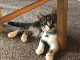 Tabby/white male kitten