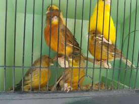 Mix canary lot for sale
